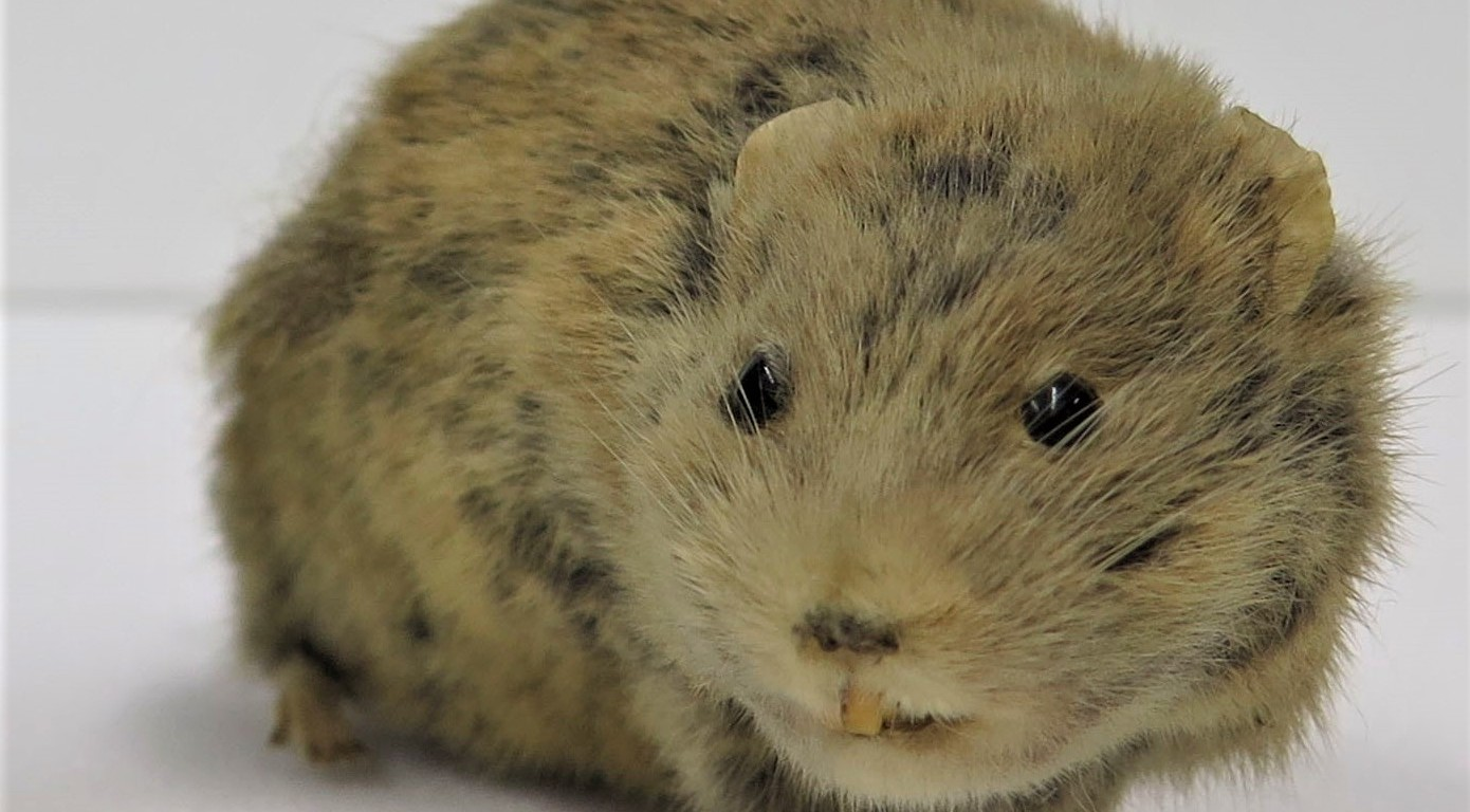Photograph of a specimen of a field vole