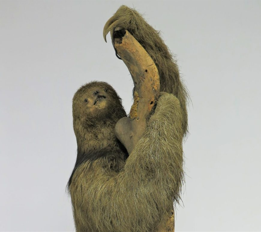 Photograph of a taxidermy sloth