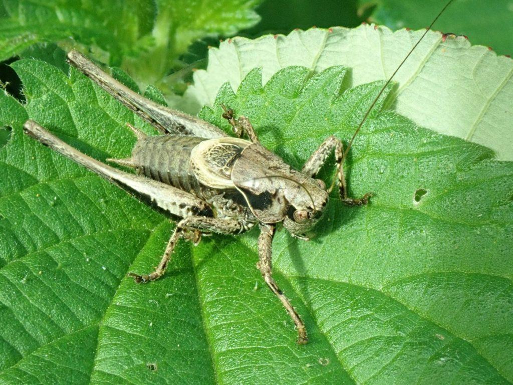 Photograph of a grey bush cricket