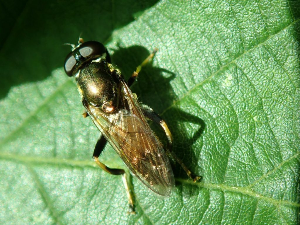 Photograph of a hoverfly on a leaf