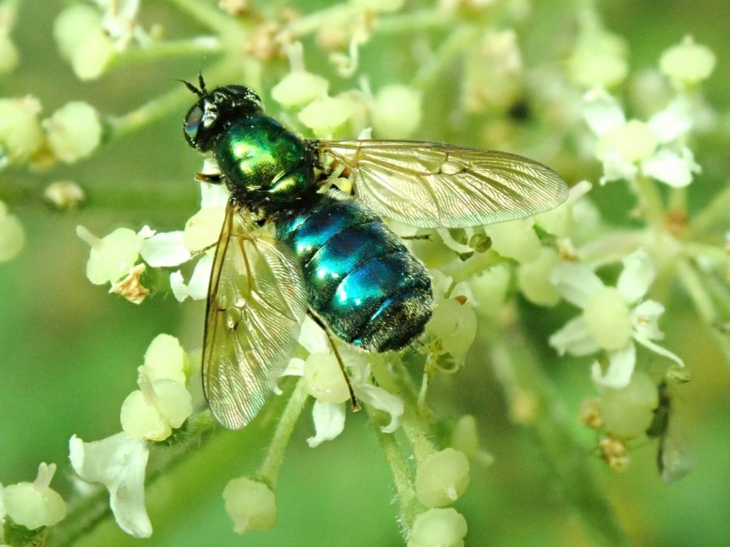 Photograph of a soldierfly