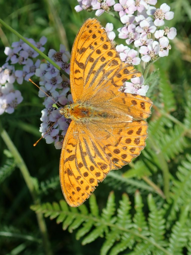 Photograph of a silver washed fritillary butterfly