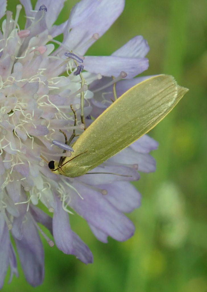 Photograph of a footman moth