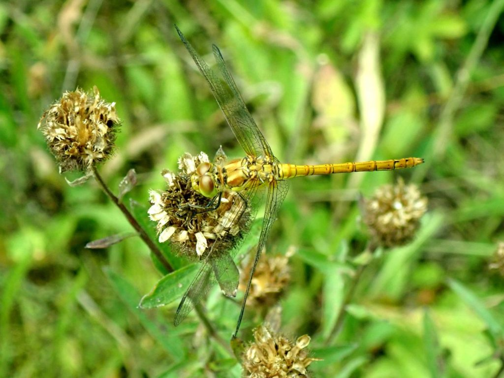 Photograph of a common darter dragonfly