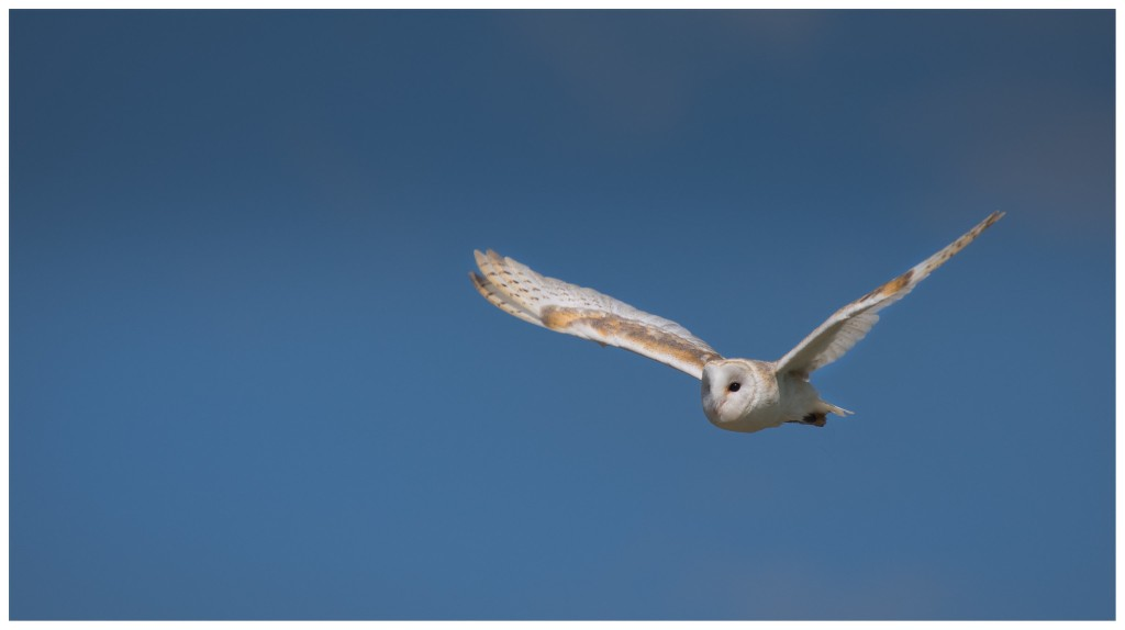 Photograph of a barn owl in flight