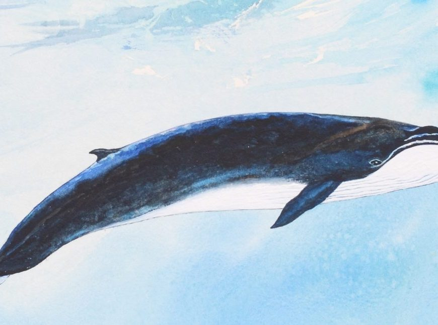 Fin whale illustration - (c) Angela Wade