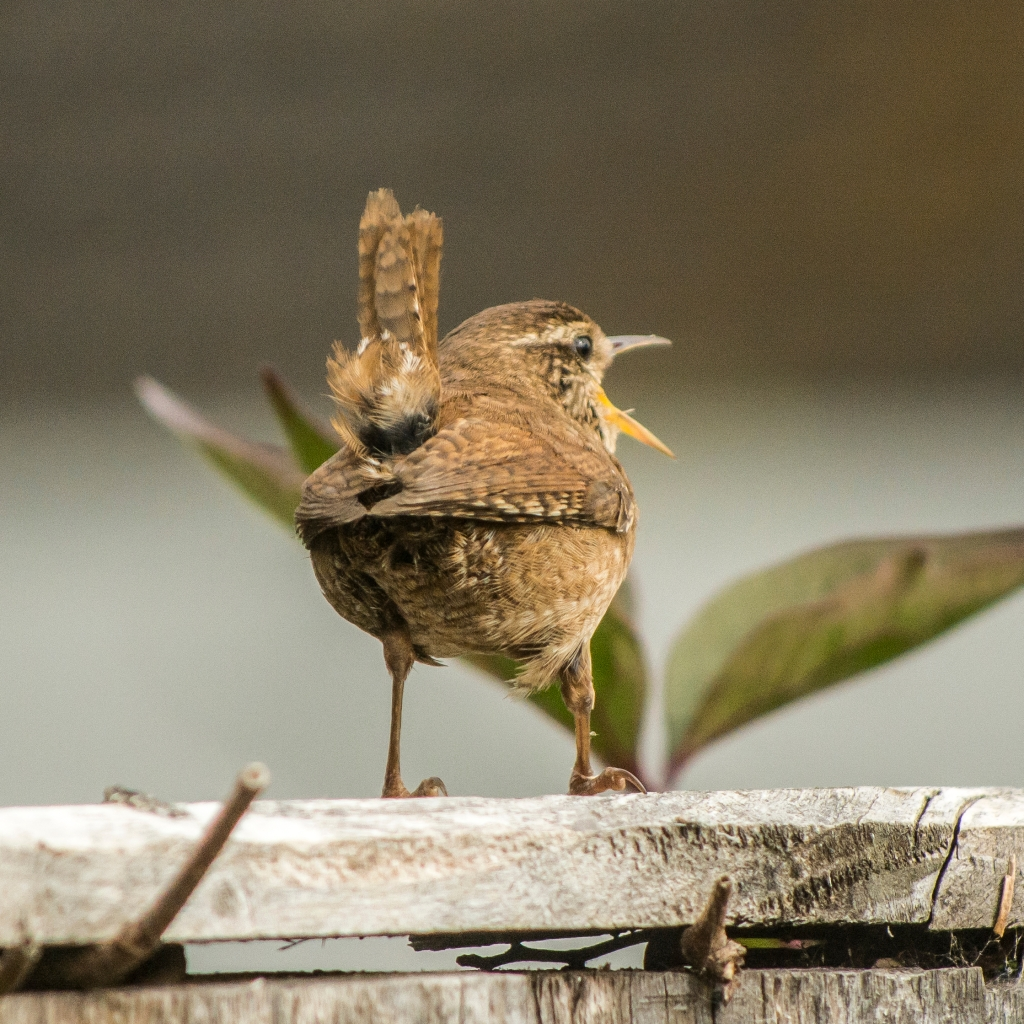 Photograph of a wren singing