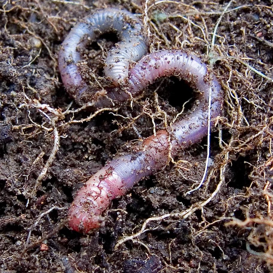 Photograph of an earthworm