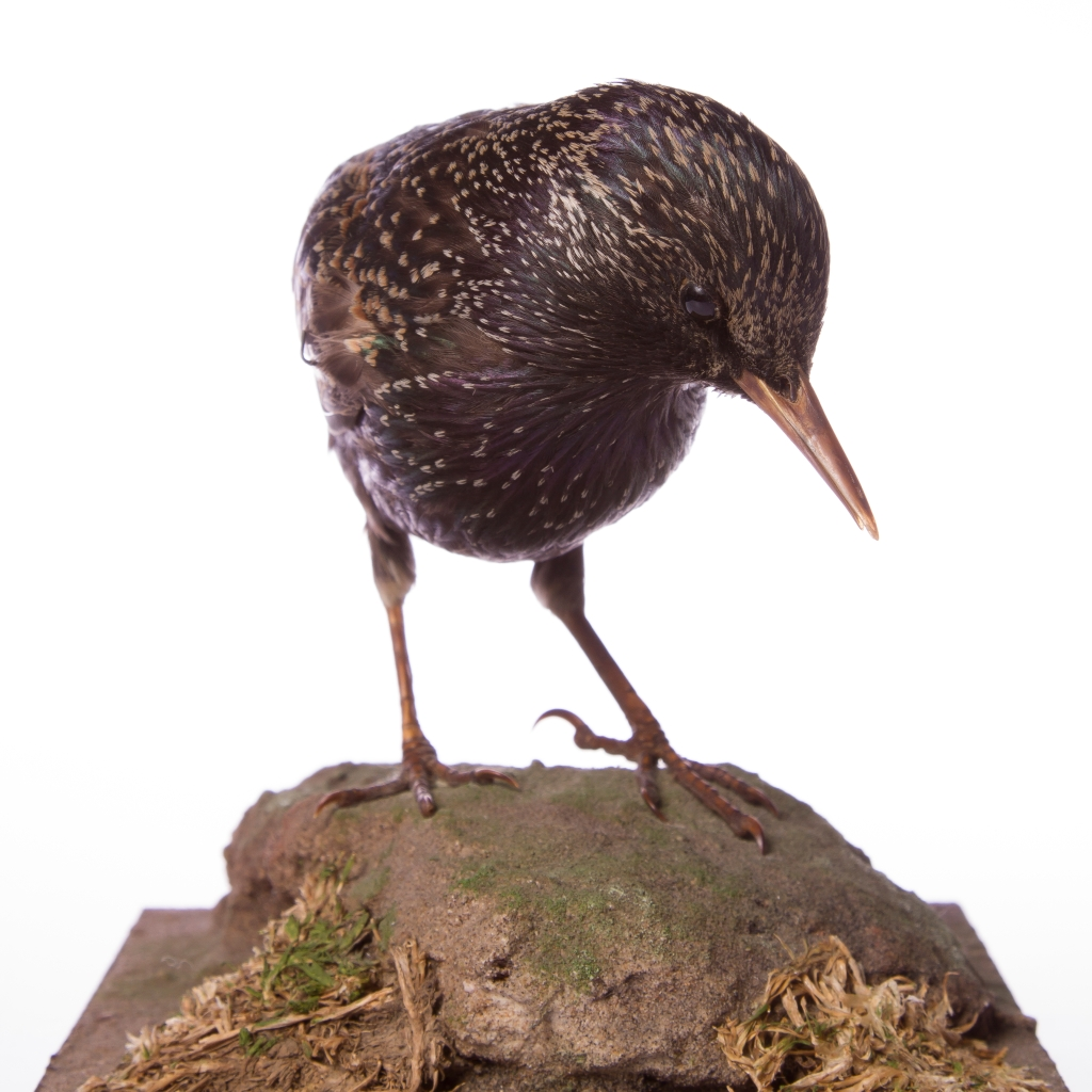 Photograph of a taxidermy starling