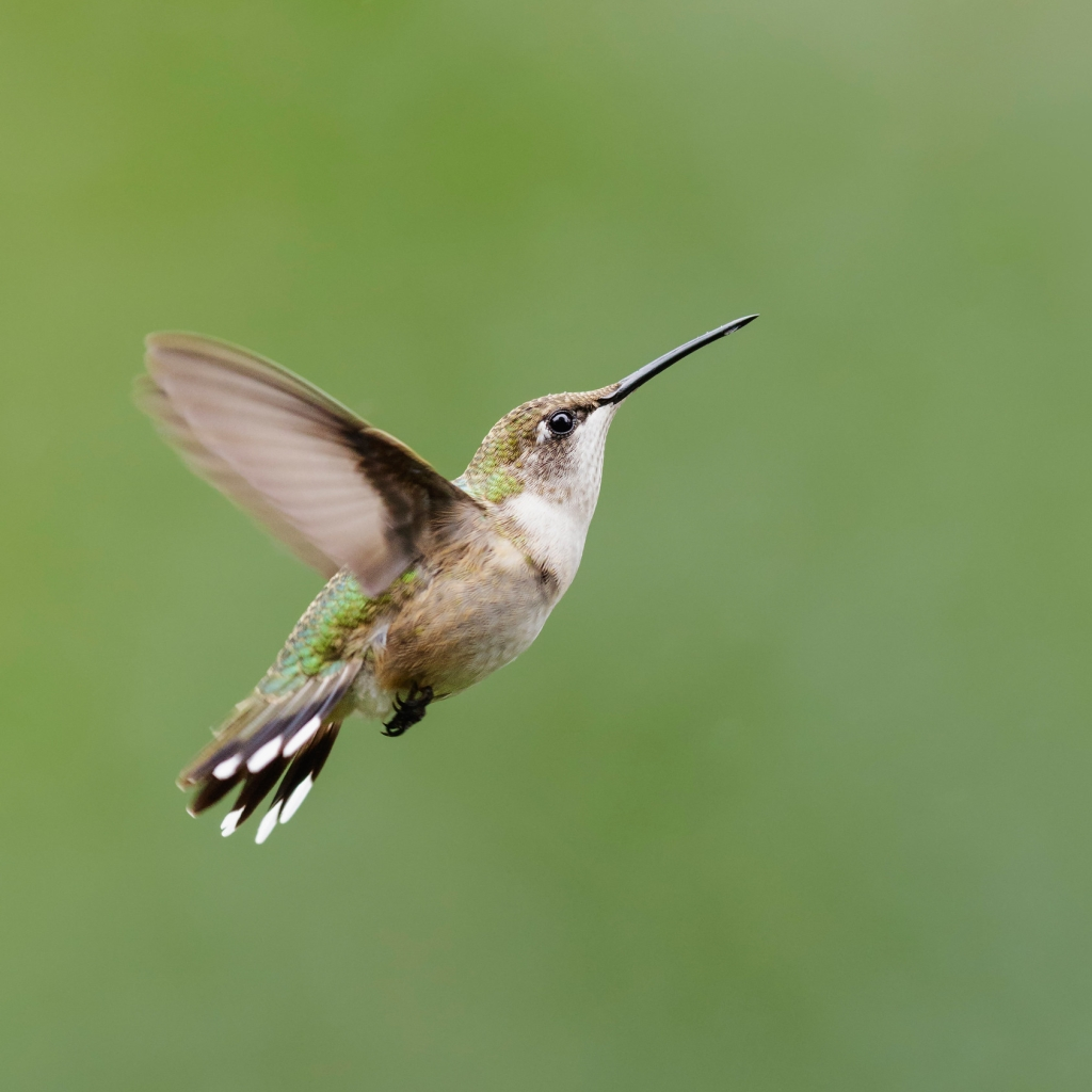 Photograph of a Ruby-throated Hummingbird