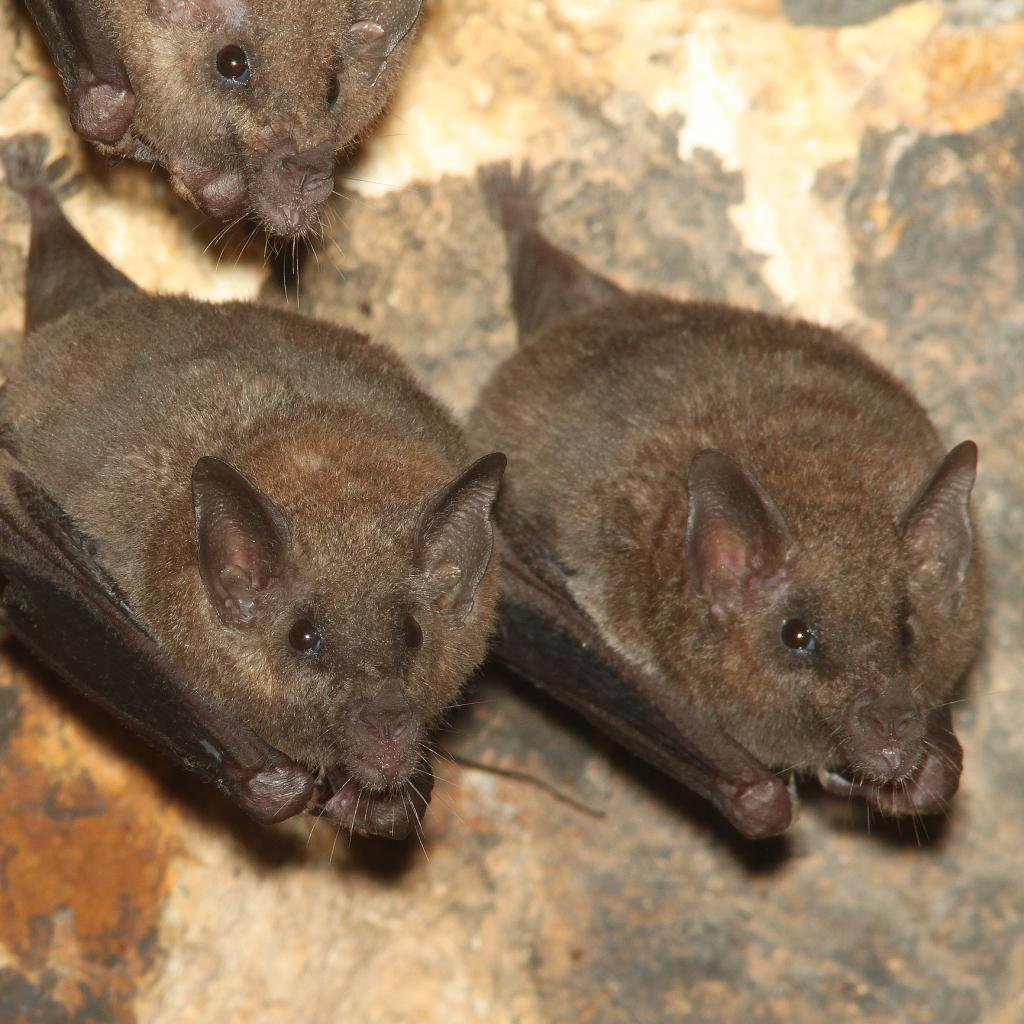 Photograph of lesser long-nosed bats