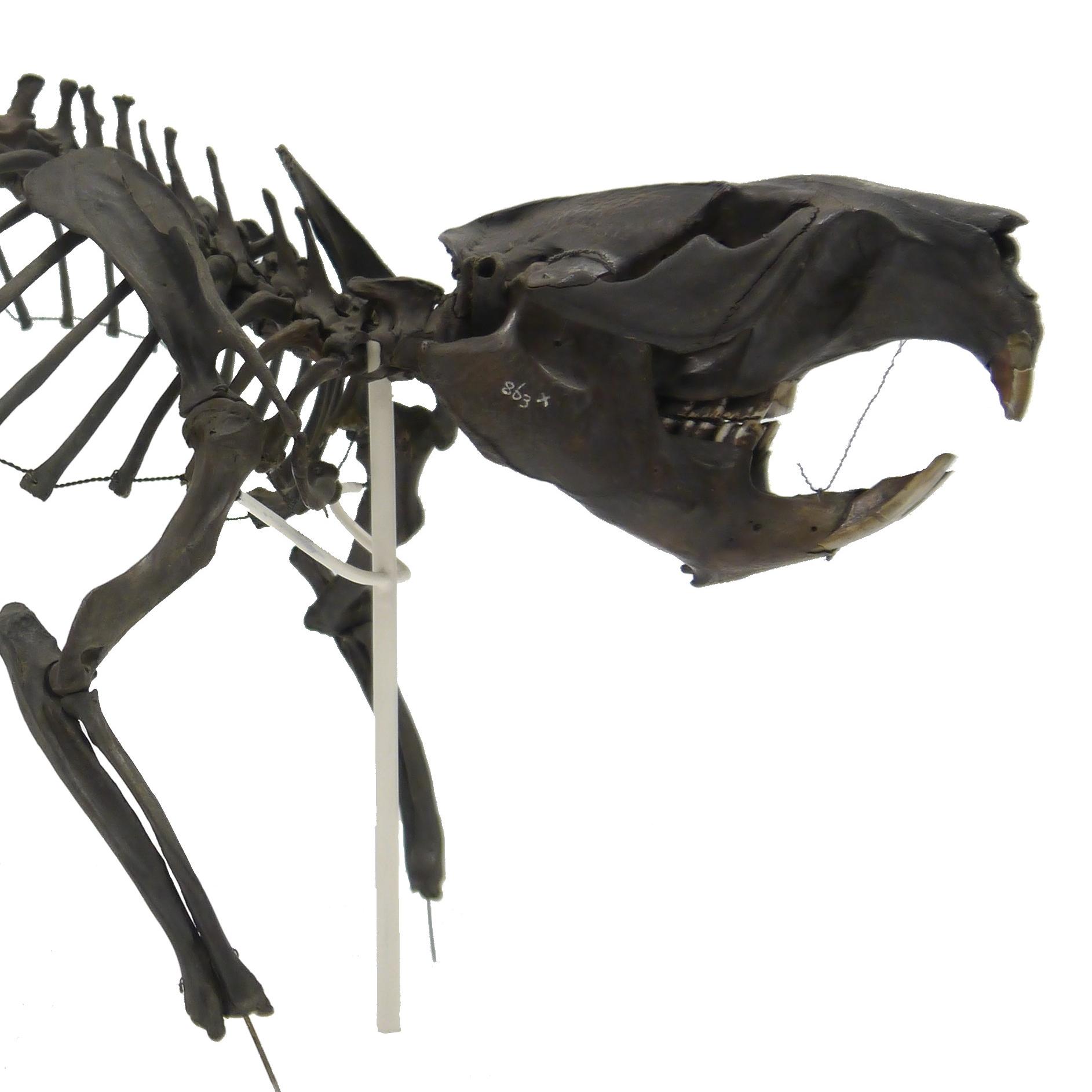 Beaver skeleton from Burwell Fen