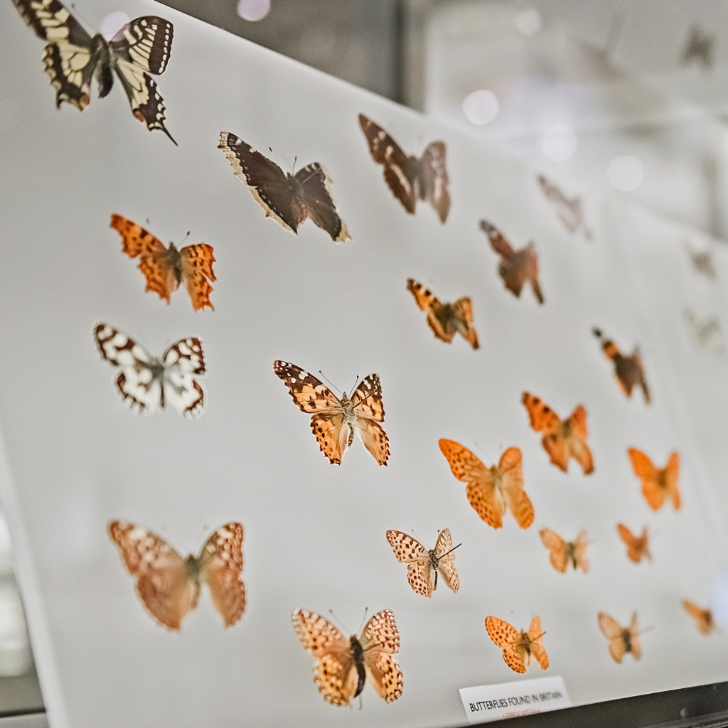 British butterflies on display in the Museum of Zoology