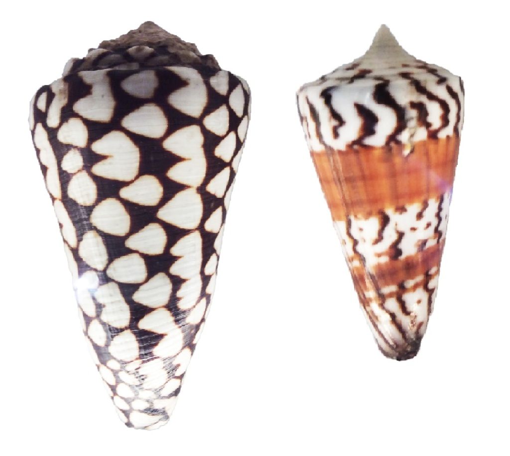 Photograph of a pair of cone snail shells