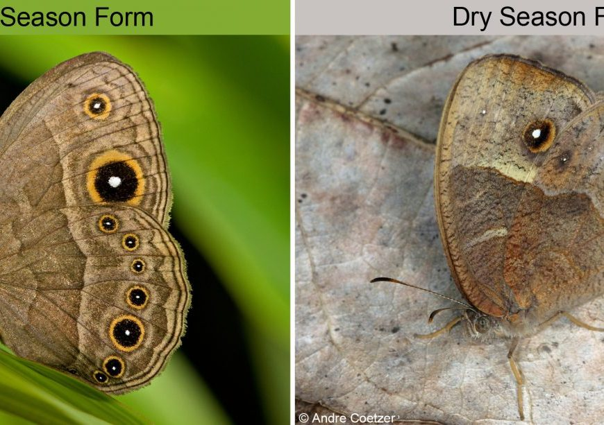 Two images showing the same butterfly species in wet season and dry season