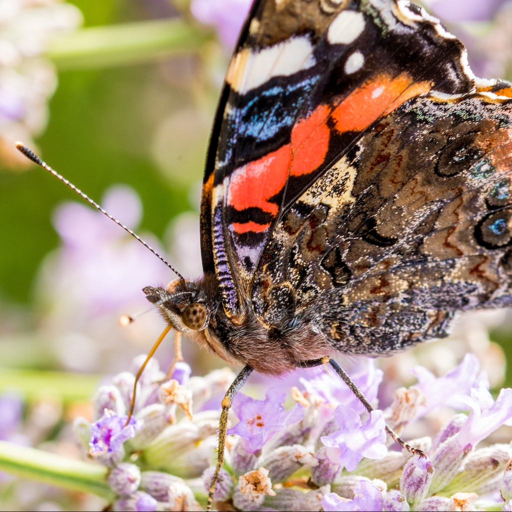Photograph of a red admiral butterfly