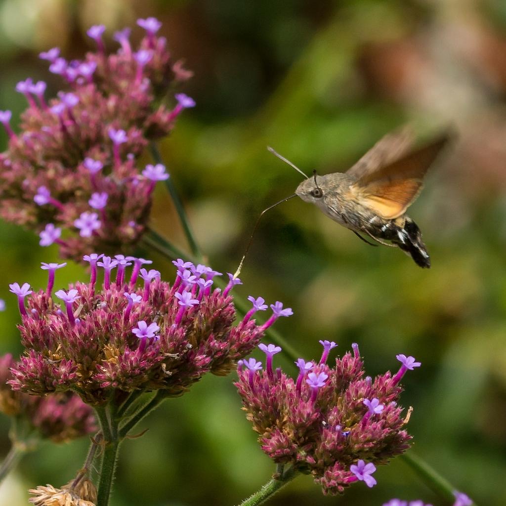 Photograph of a moth feeding