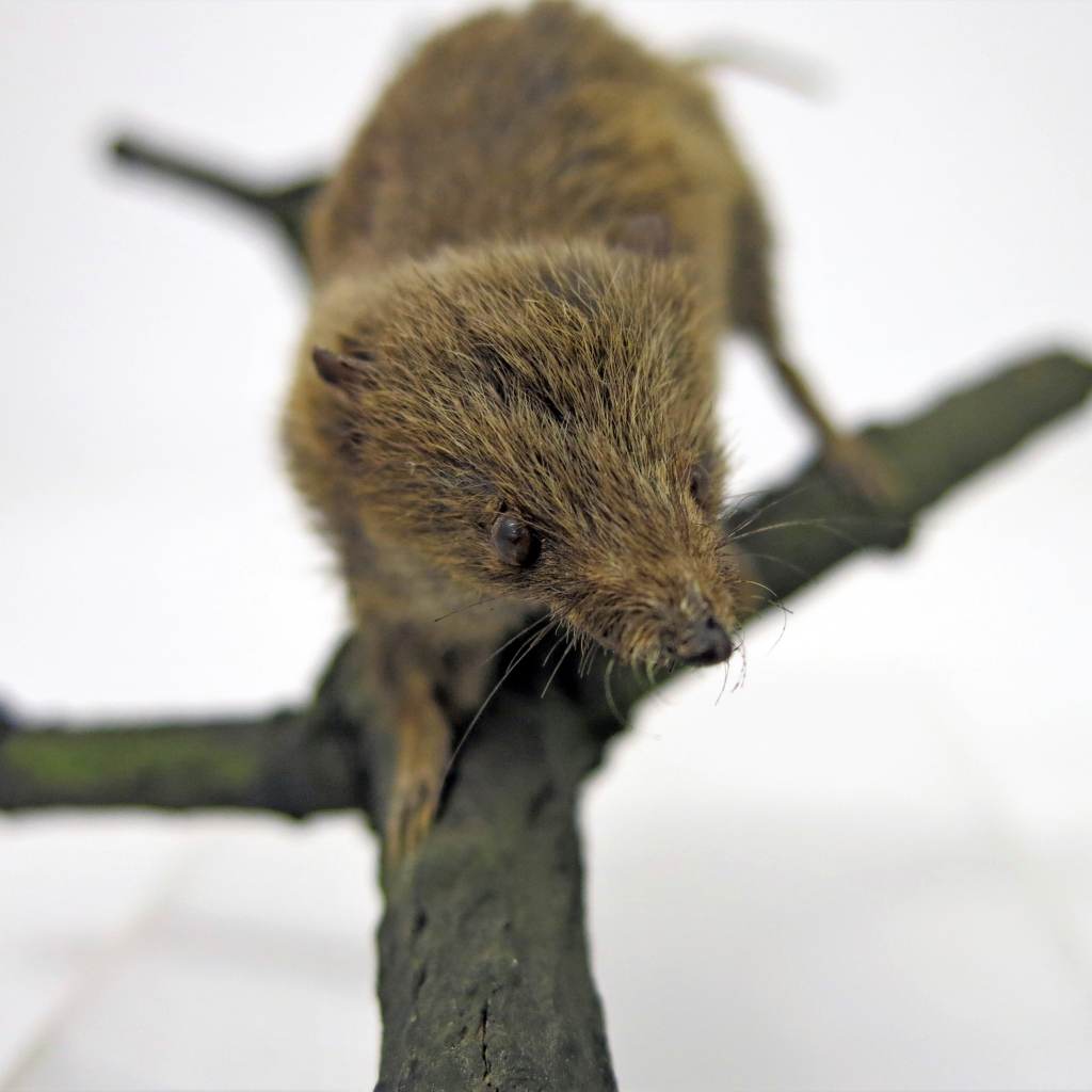 Photograph of taxidermied Cowan's Shrew Tenrec