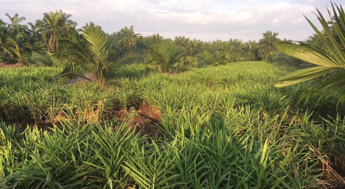 Oil palm (c) Valentine Reiss-Woolever