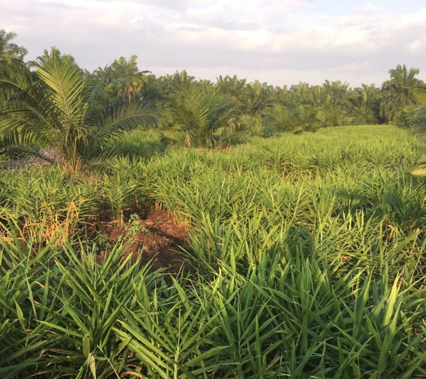 Oil palm (c) Valentine Reiss-Woolever