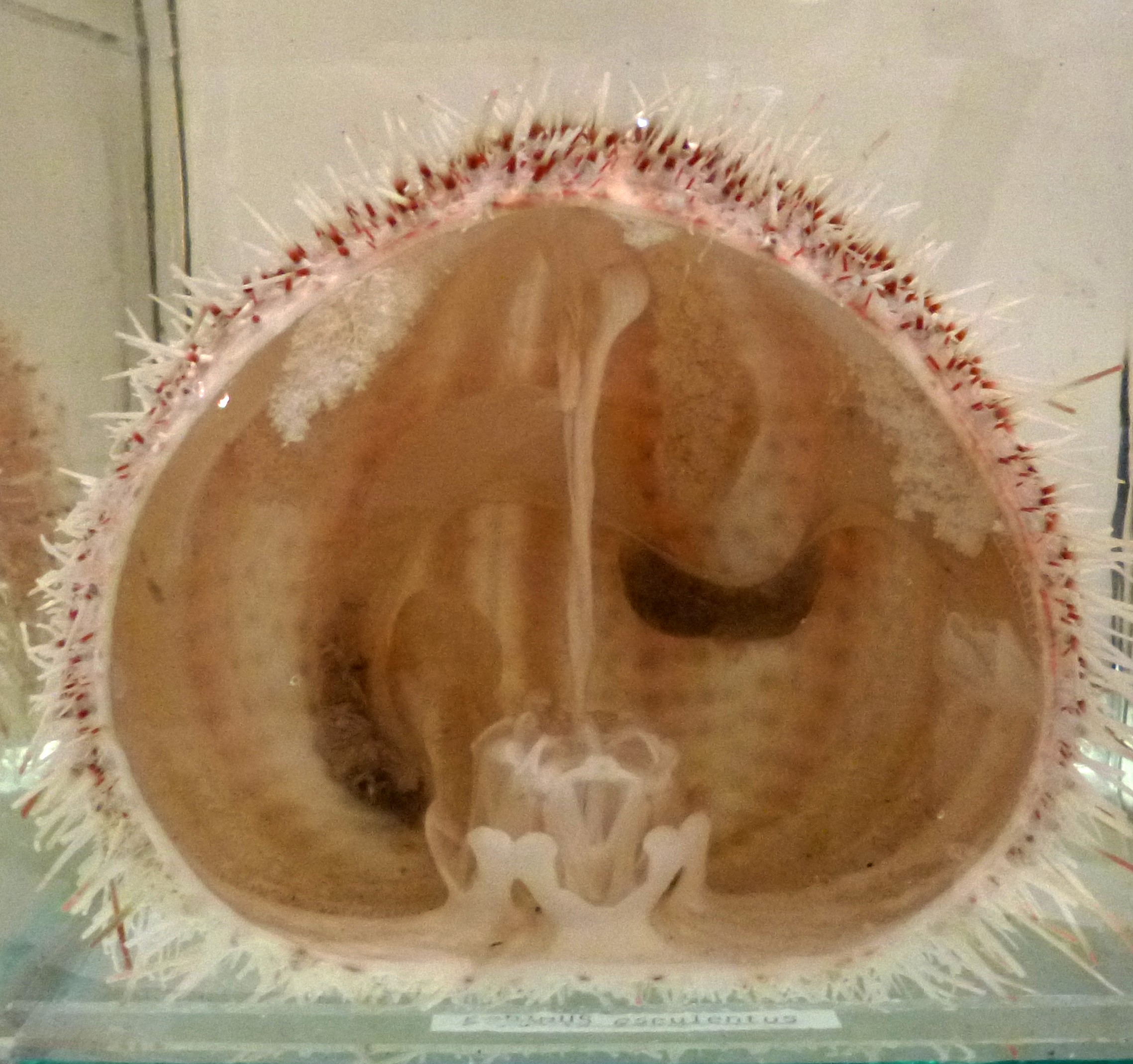 Sectioned sea urchin showing the feeding apparatus inside