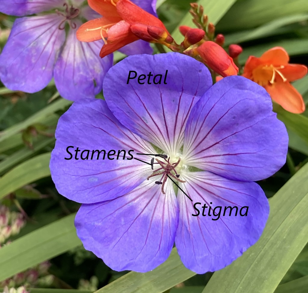 Photograph of a flower labelled with the petals, stamens and stigma