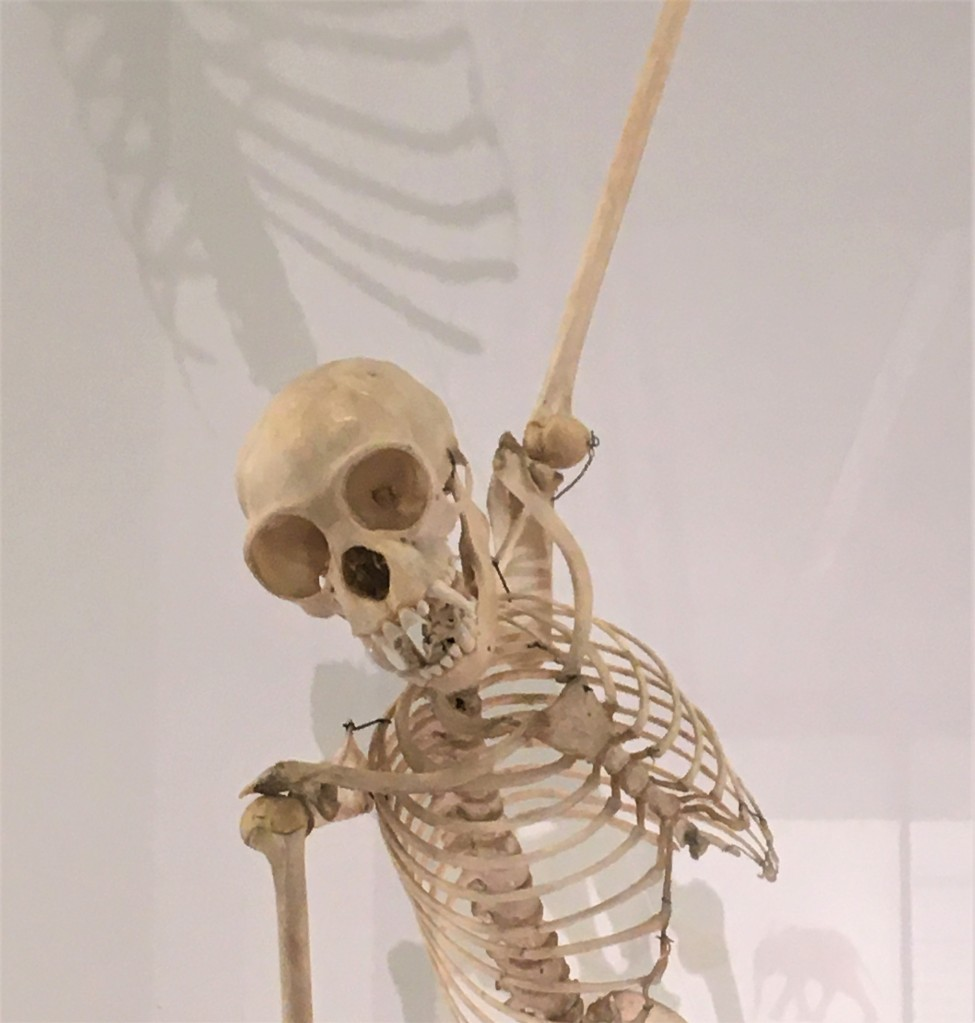 Close up photograph of a gibbon skeleton