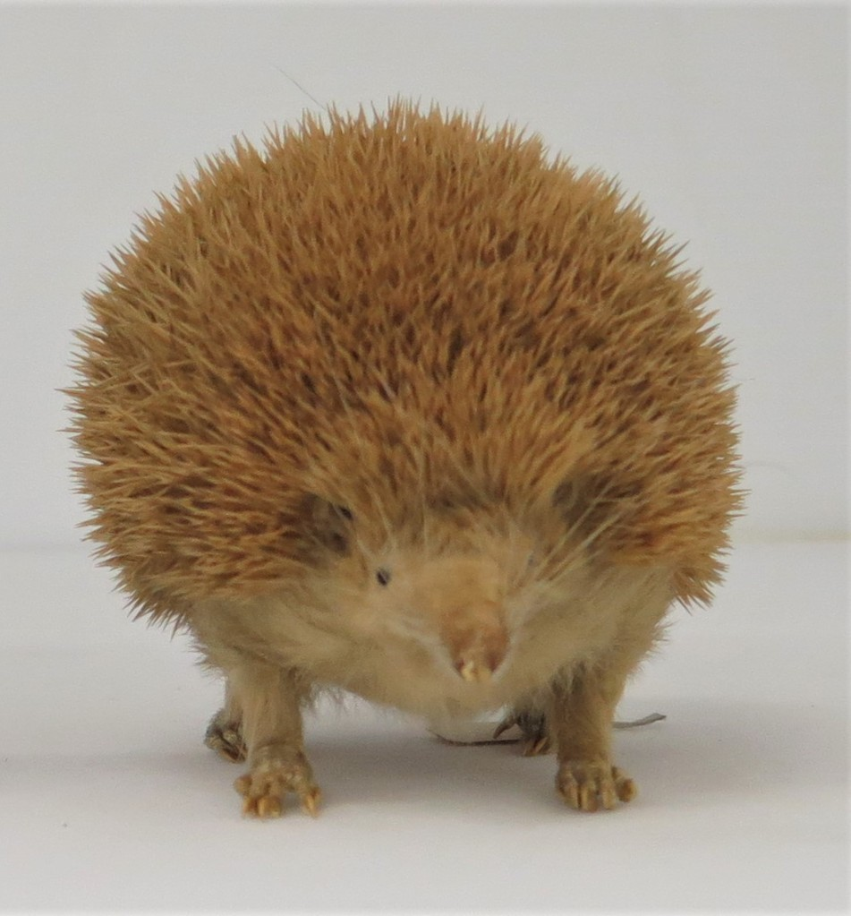 Photograph of taxidermied lesser hedgehog tenrec