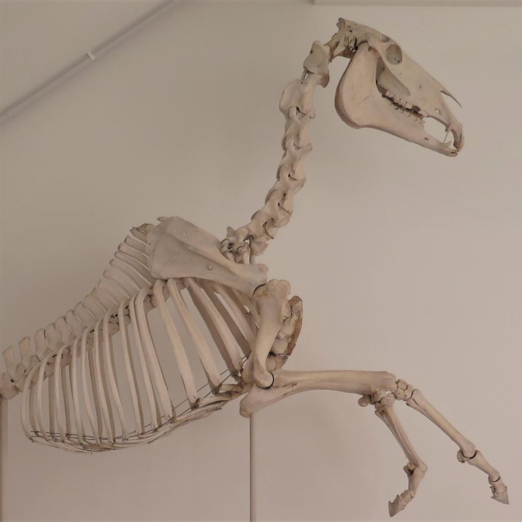 Skeleton of the racehorse Polymelus