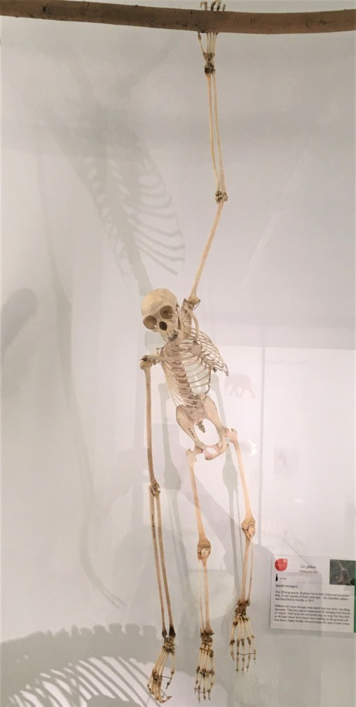 Photograph of a gibbon skeleton suspended from a branch