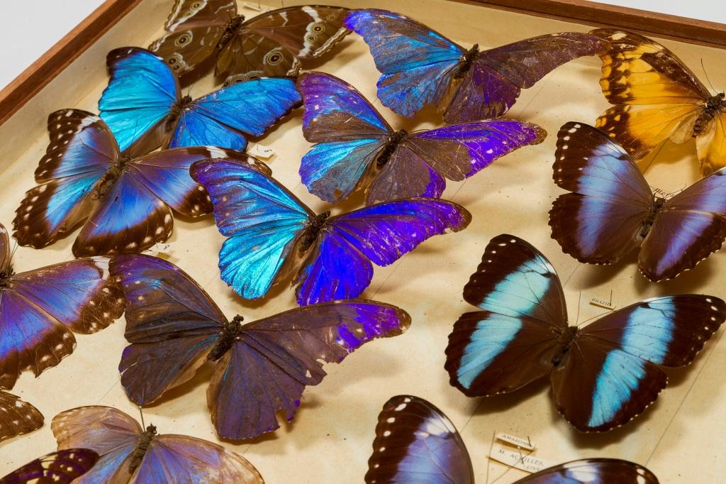 Photograph of a drawer of blue butterflies