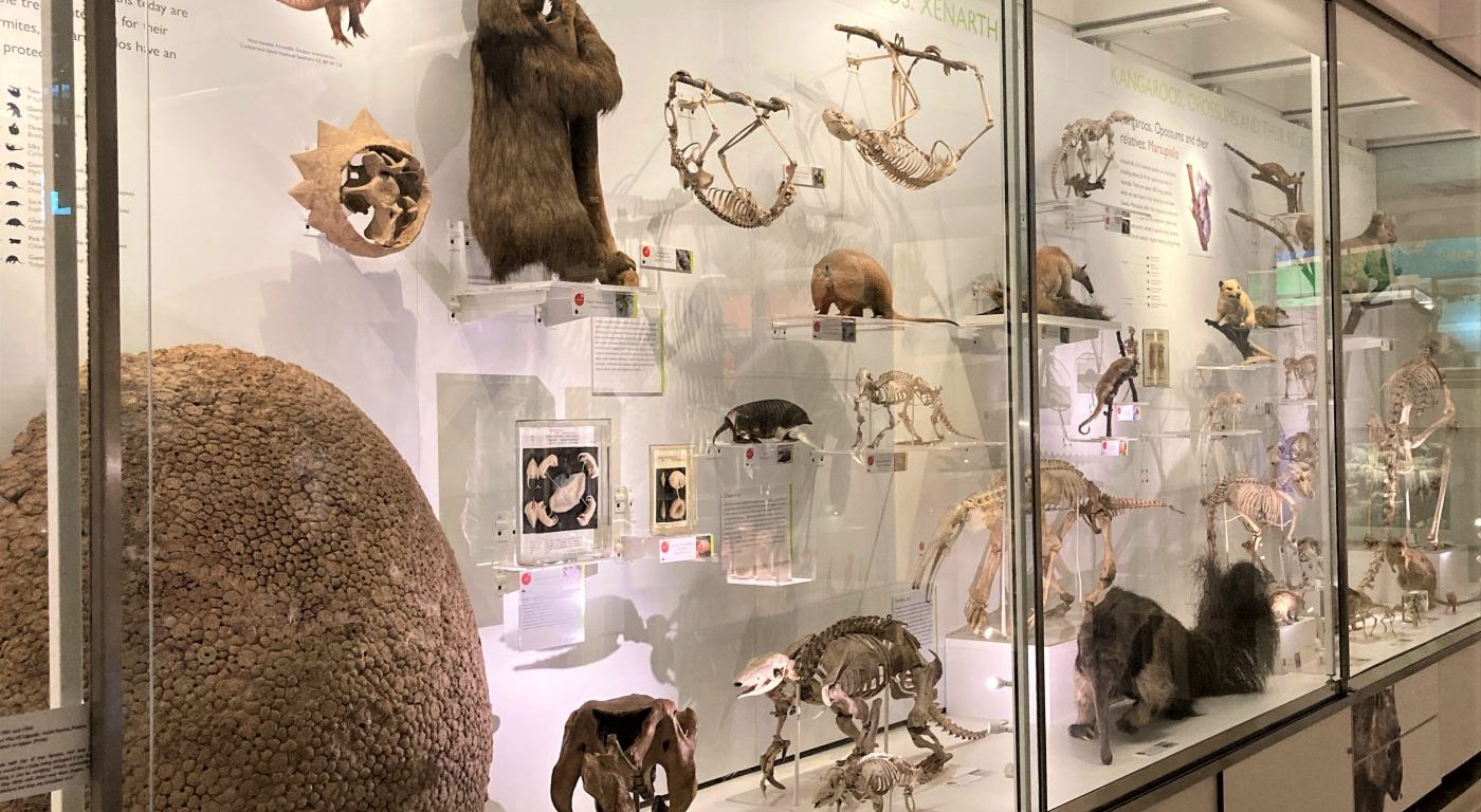 Photograph of the display of xenarthrans in the Museum