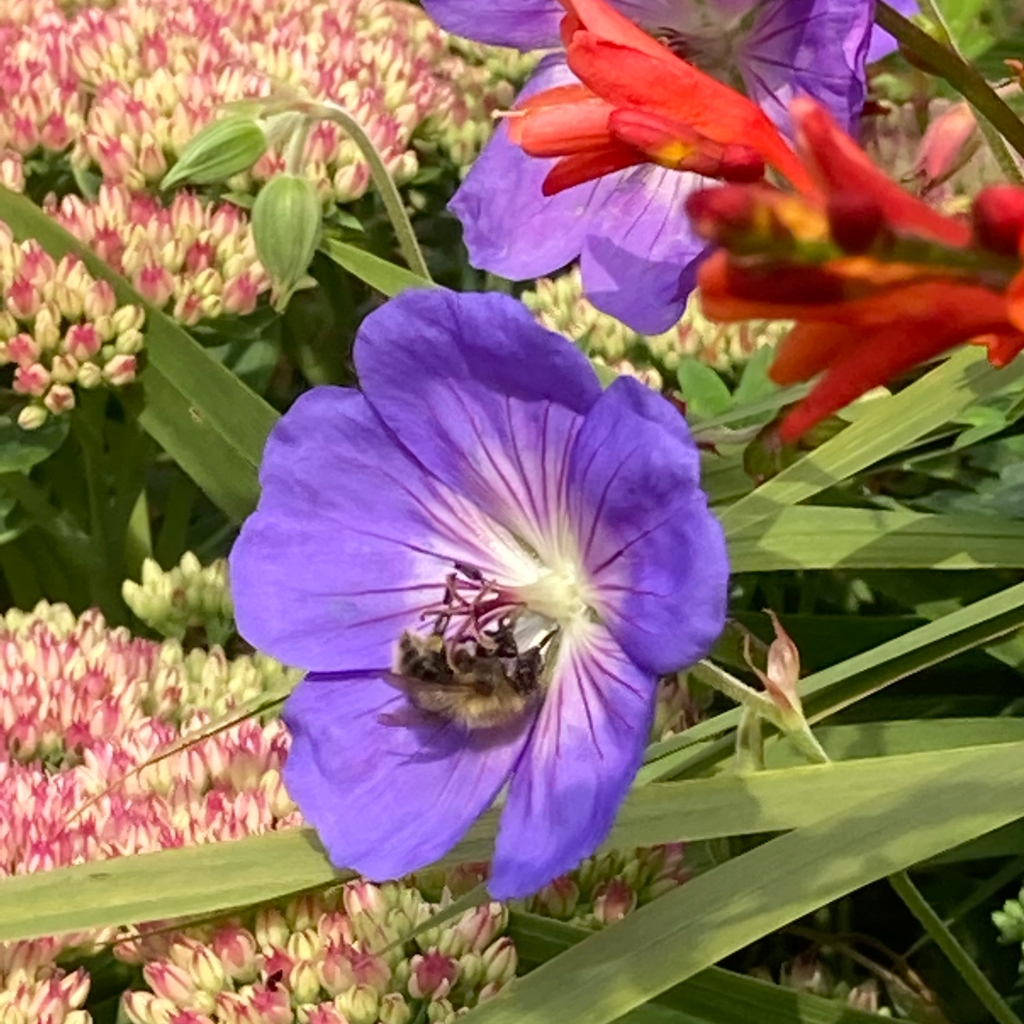 Photograph of a bee pollinating a cranesbill