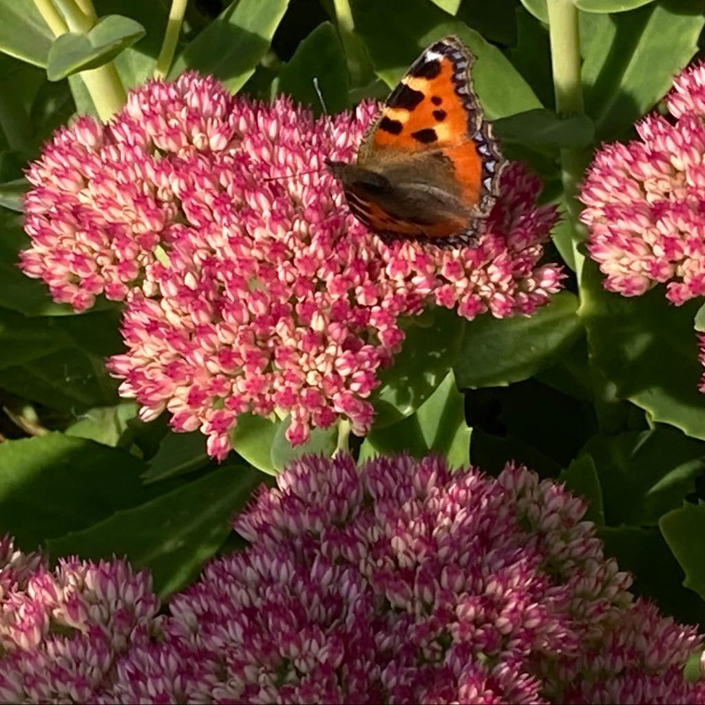 Butterfly feeding on sedum