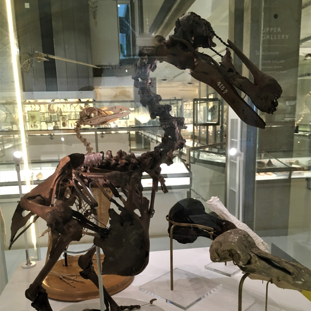 Dodo skeleton on display in the Museum