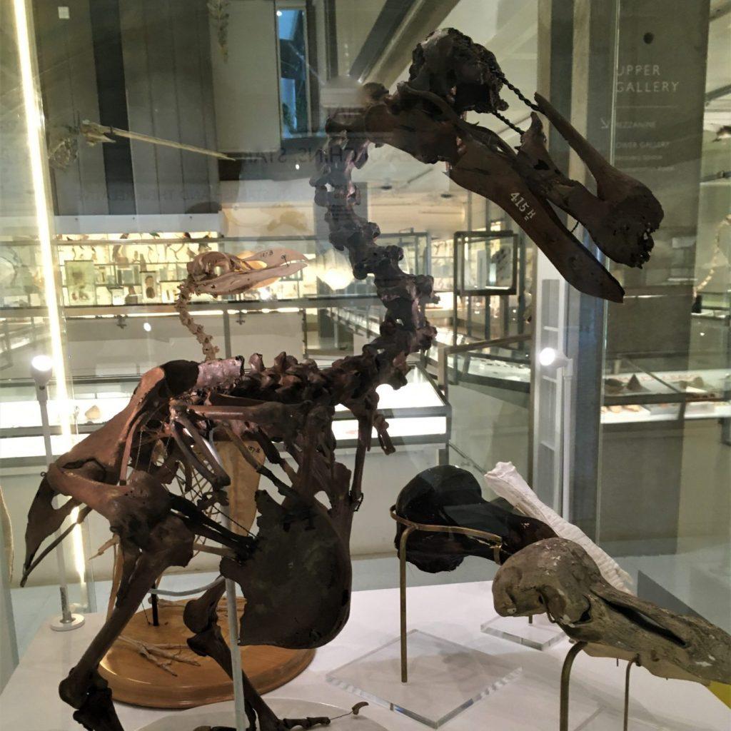 Dodo skeleton on display in the Museum