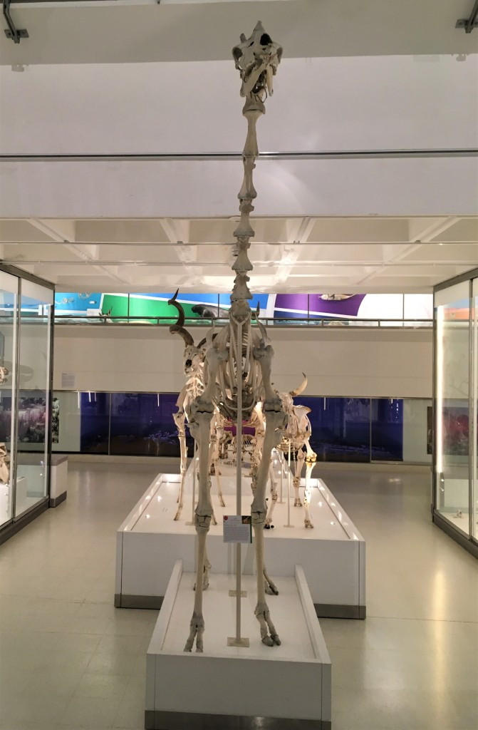 Photograph of a giraffe skeleton on display with other large mammal skeletons