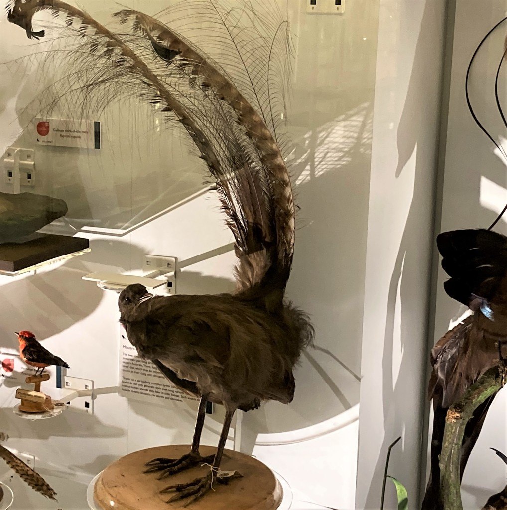 Photograph of a lyrebird in the displays of the Museum of Zoology