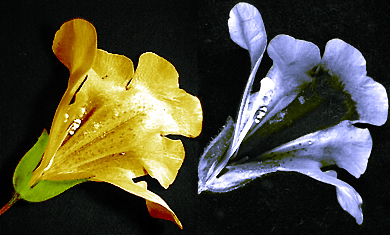 Photograph of mimulus flower in visible light and under ultraviolet light