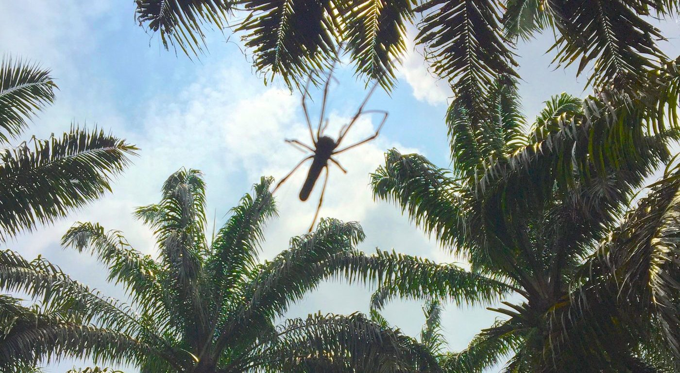 Nephila sp. Golden orb weaver and oil palm