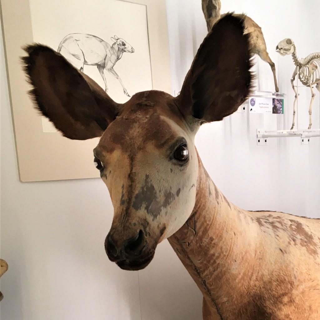 Photograph of the head of an okapi specimen