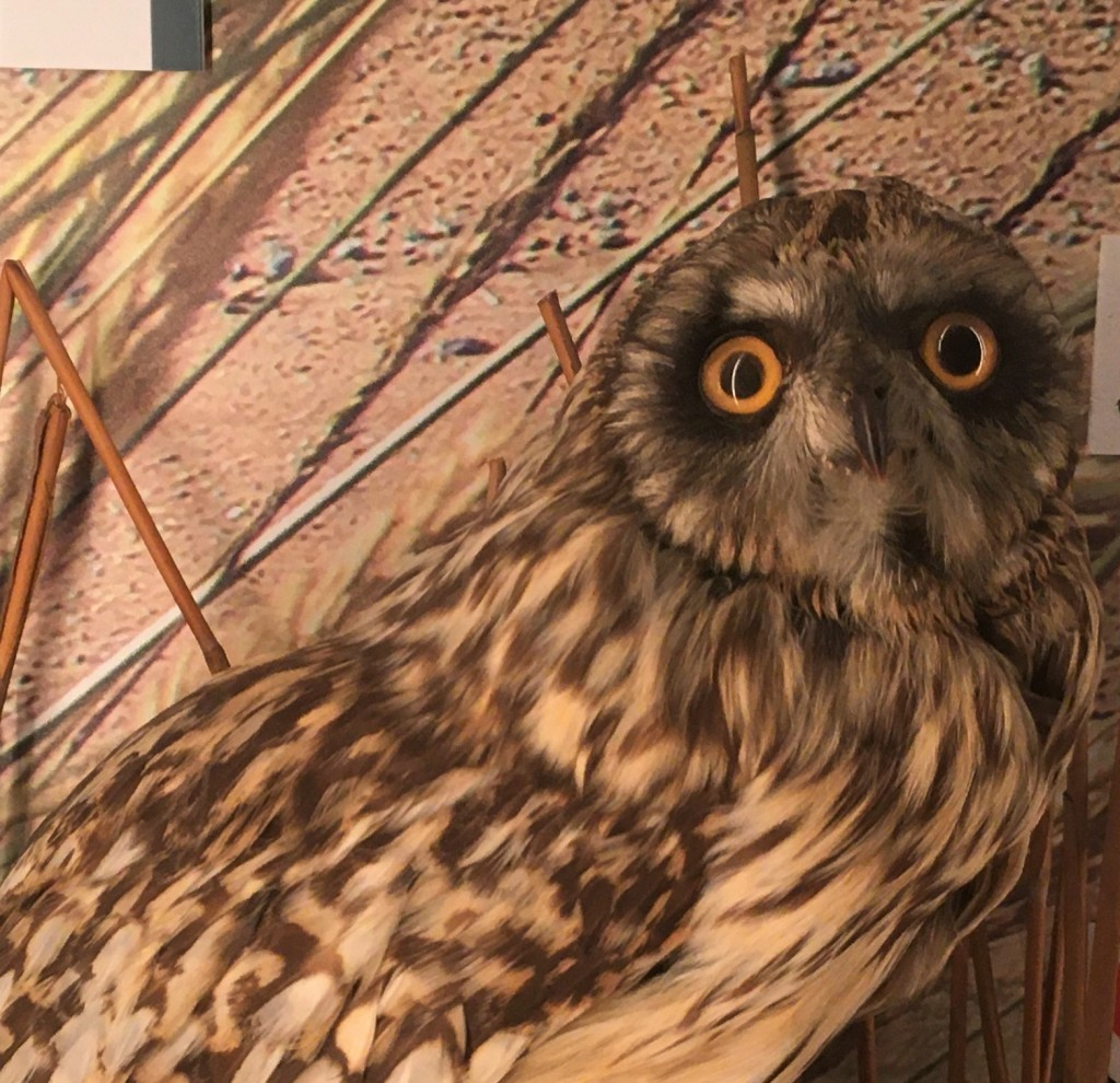 Photograph of a taxidermied short eared owl