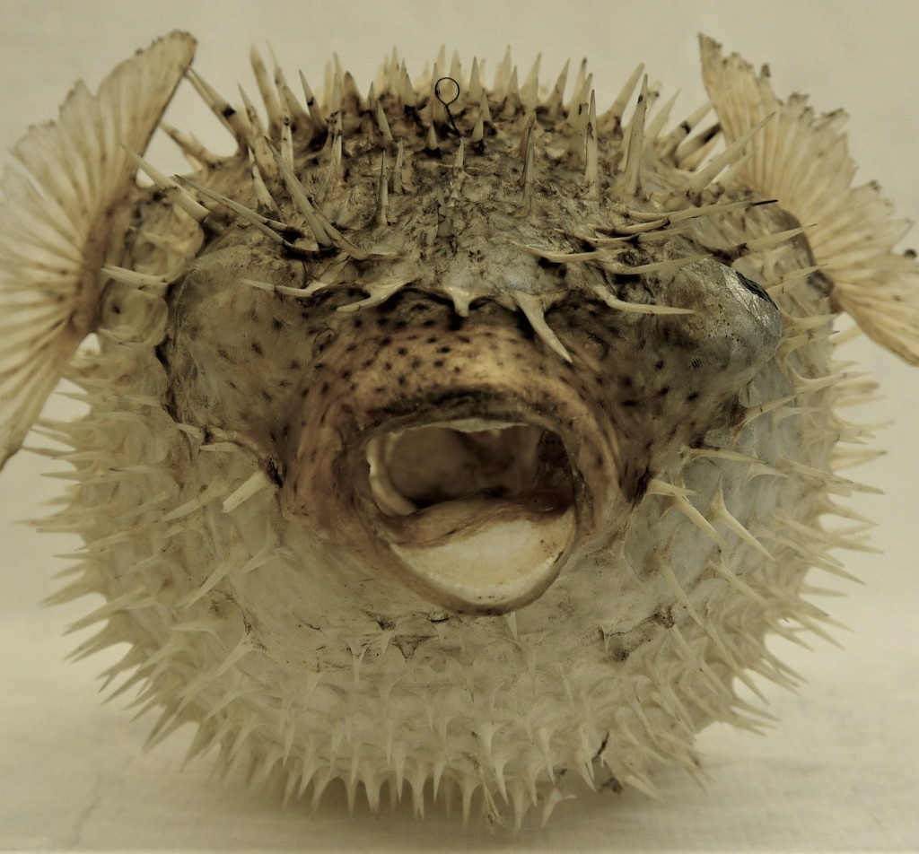 Photograph of a dried porcupinefish