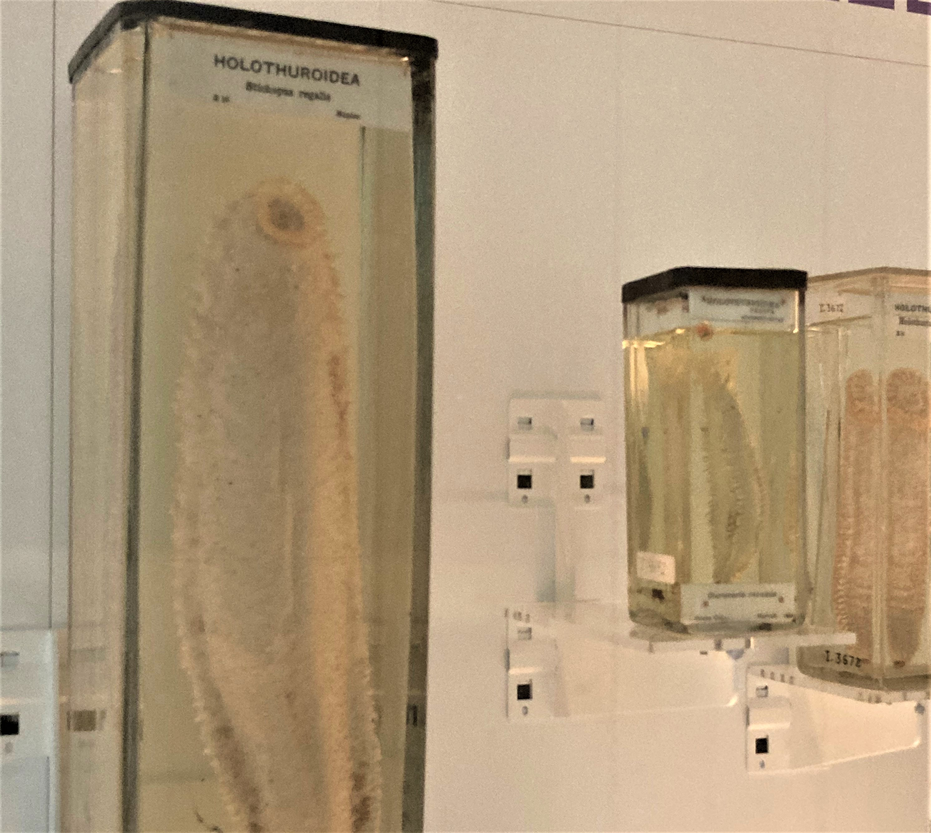 Photograph of sea cucumbers on display, preserved in alcohol