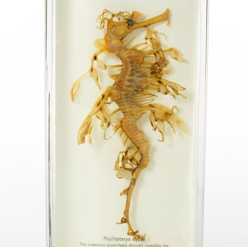 Photograph of a leafy seadragon preserved in alcohol