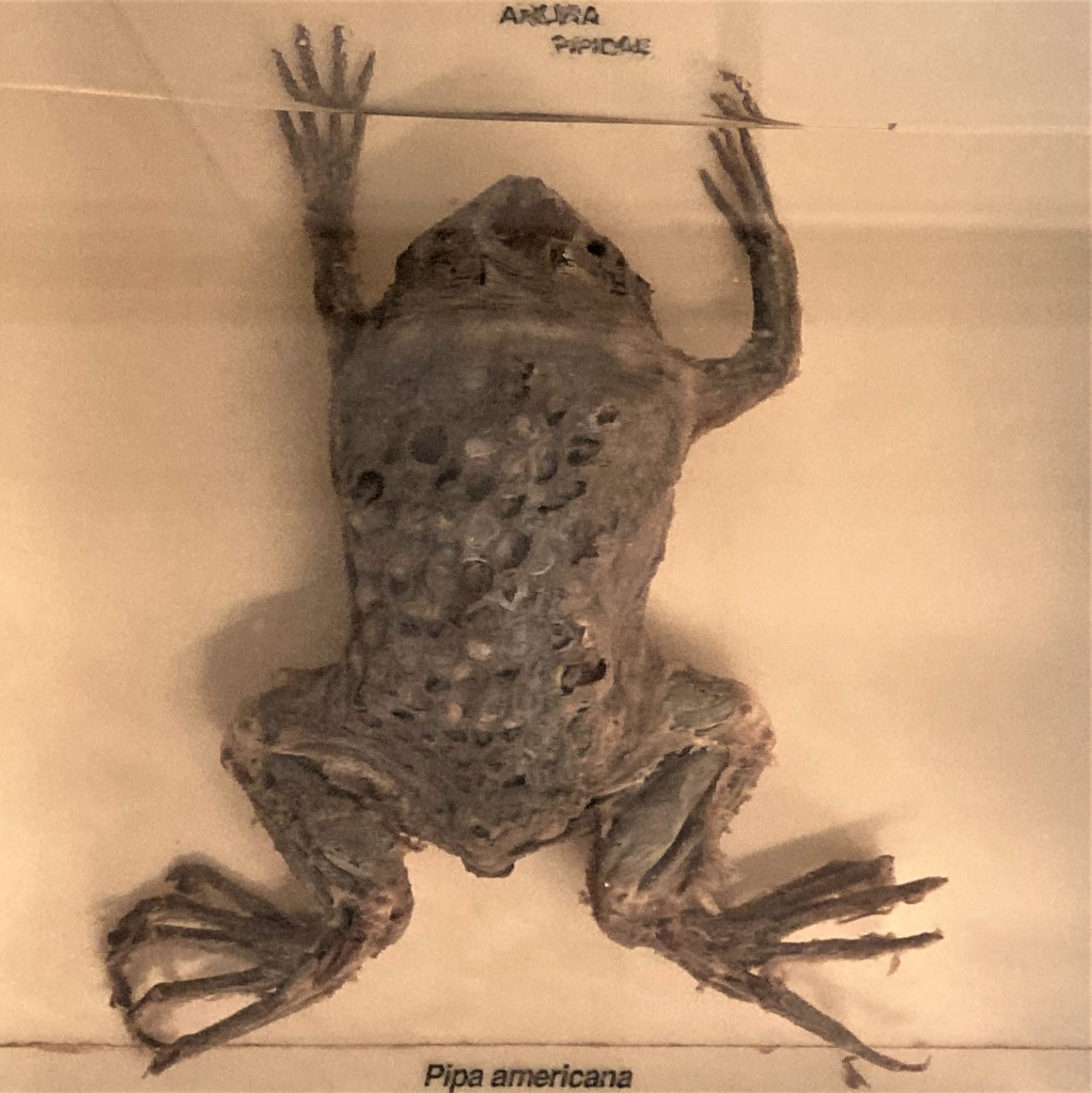 Photograph of a Surinam toad preserved in alcohol, showing the pockets on its back where the eggs implanted
