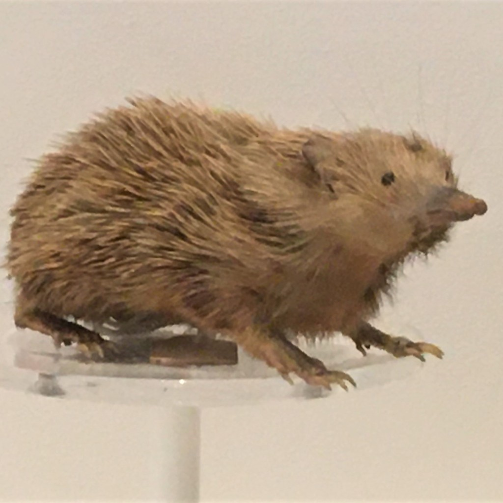 Photograph of taxidermied lowland streaked tenrec