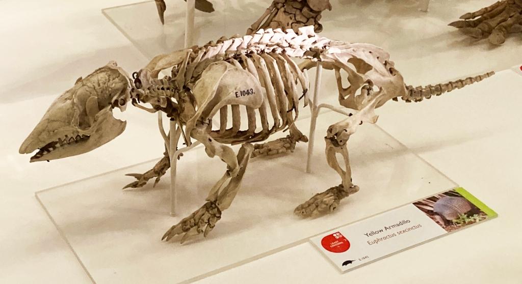Yellow armadillo skeleton