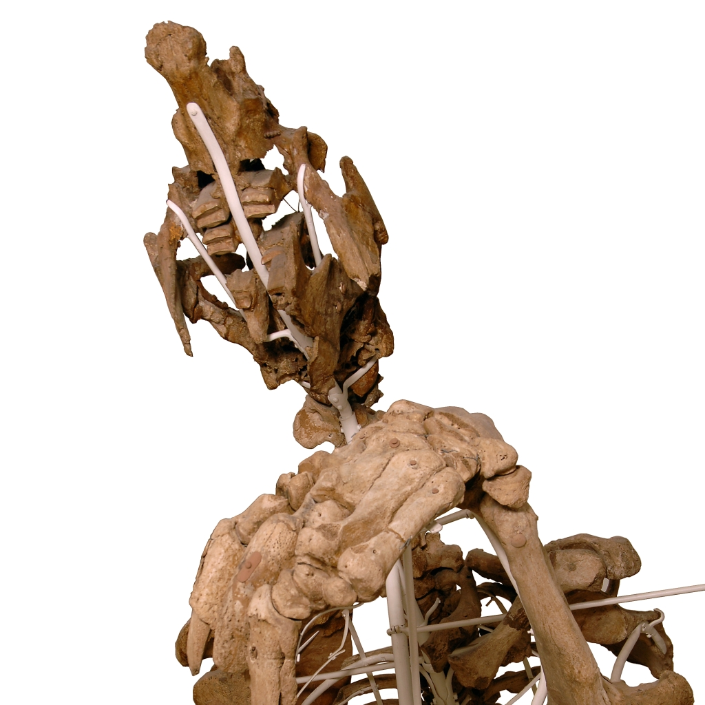 Upper part of giant ground sloth skeleton