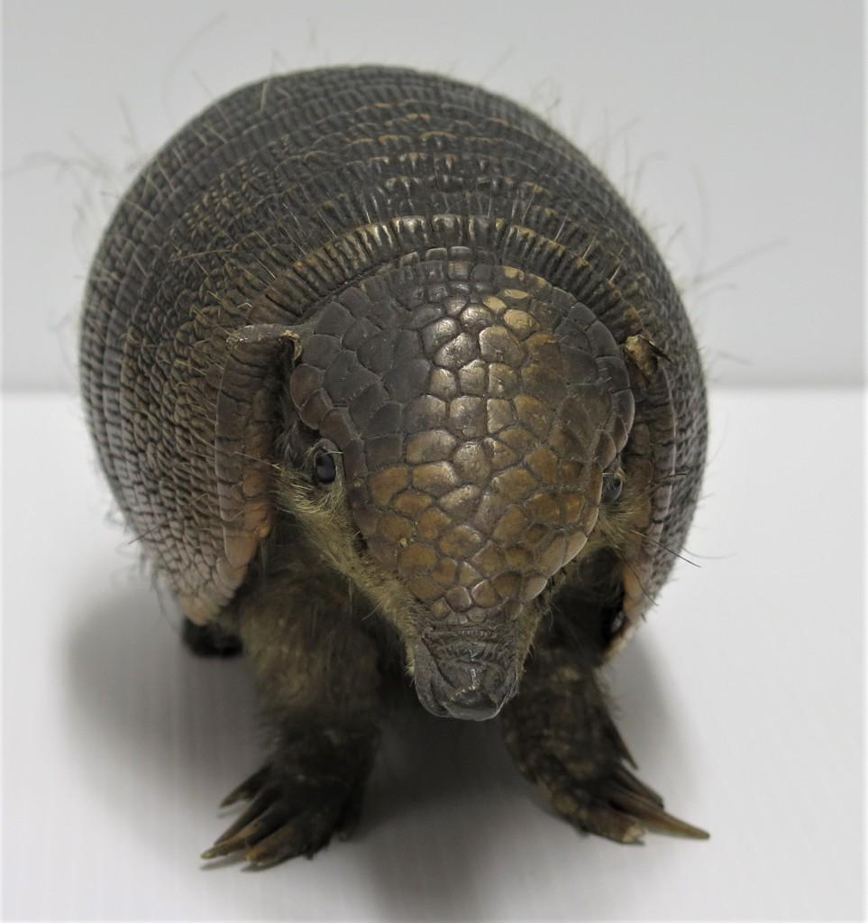 Armadillo specimen